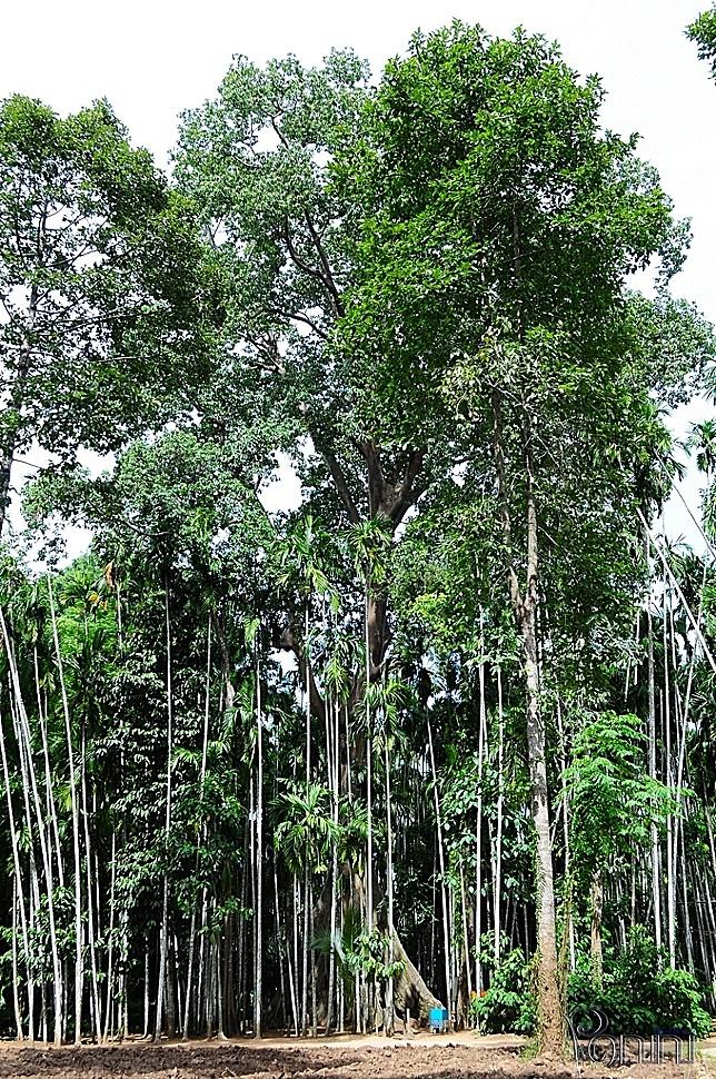 ต้นไม้ยักษ์ บ้านสะนำ บ้านไร่ อุทัยธานี