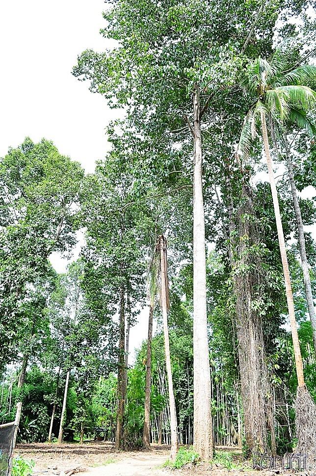 ต้นไม้บริเวณรอบๆ ก็สูงใหญ่เช่นเดียวกับต้นไม้ยักษ์
